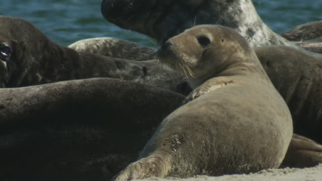 seals and their pups rest on a beach. - seal pup stock videos & royalty-free footage