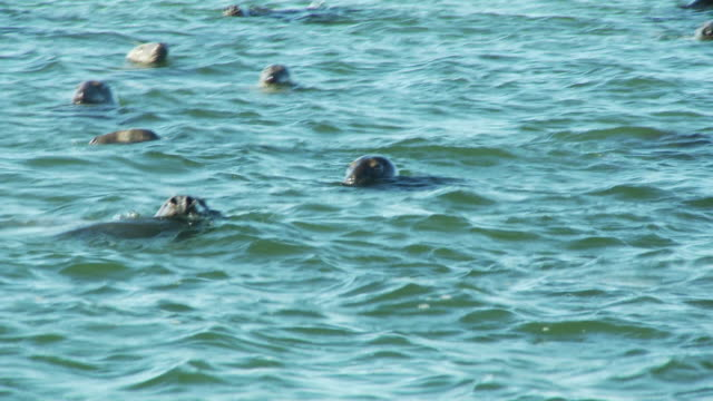 seals bob at the surface of the ocean. - new england usa stock videos & royalty-free footage