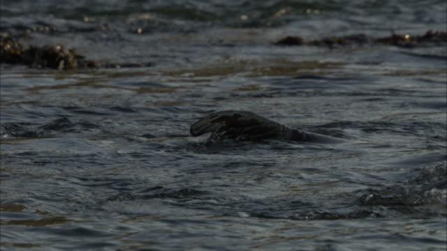 seals cavort at the surface of the water. - ダイビング用のフィン点の映像素材/bロール