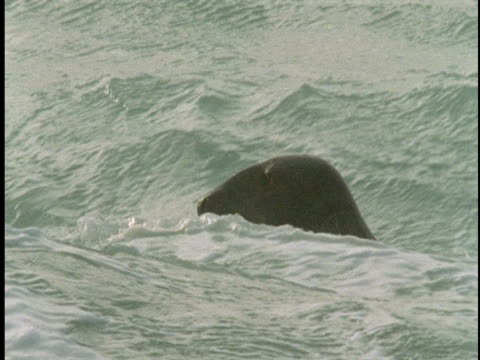 seals float in the waters off of sable island. - 大西洋諸島点の映像素材/bロール
