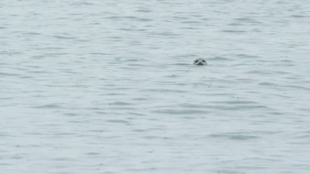 seal's head pops up out of water, alaska, 2011 - seals stock videos and b-roll footage