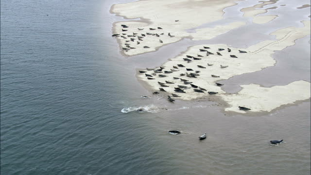 seals in holkham bay  - aerial view - england, norfolk, united kingdom - norfolk england stock videos & royalty-free footage