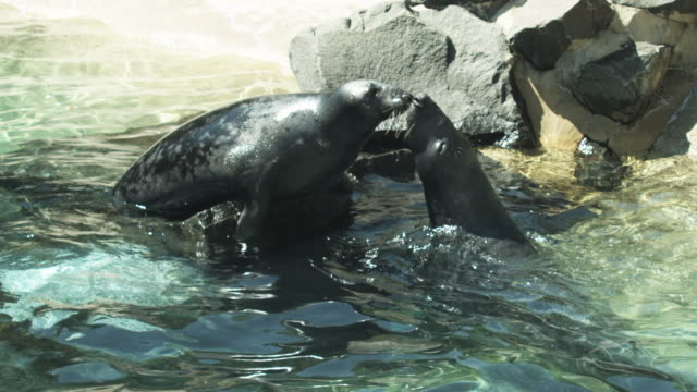 stockvideo's en b-roll-footage met hd: seals kissing and jumping - dierentuin