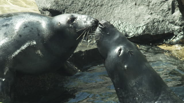 HD: Seals kissing