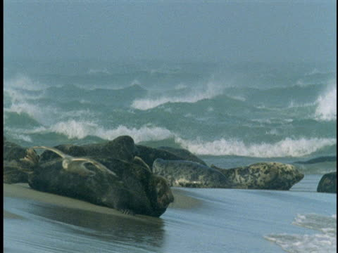 stockvideo's en b-roll-footage met seals lie on the beach of sable island. - achterover leunen