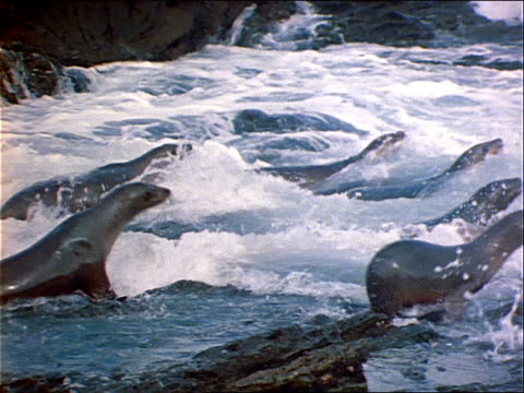 seals lunge into the ocean. - lunge stock videos & royalty-free footage