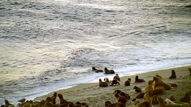 WS Seals on beach and playing in surf with killer whales circling in sea / Patagonia, Argentina