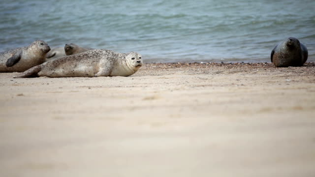 seals on horsey beach norfolk uk - grey seal stock videos & royalty-free footage