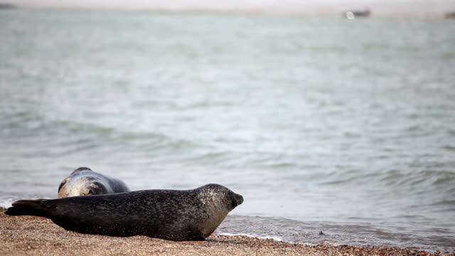 seals on horsey beach norfolk uk - norfolk england stock videos & royalty-free footage