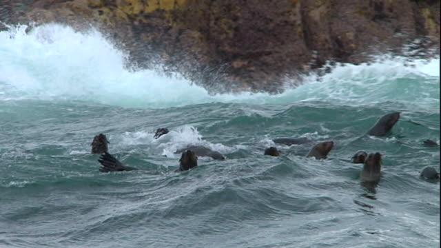 vidéos et rushes de seals play in rolling waves that crash against a rocky coast. - phoque