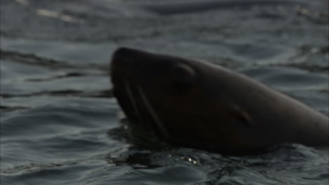 seals porpoise at the surface of the water. - sea lion stock videos & royalty-free footage