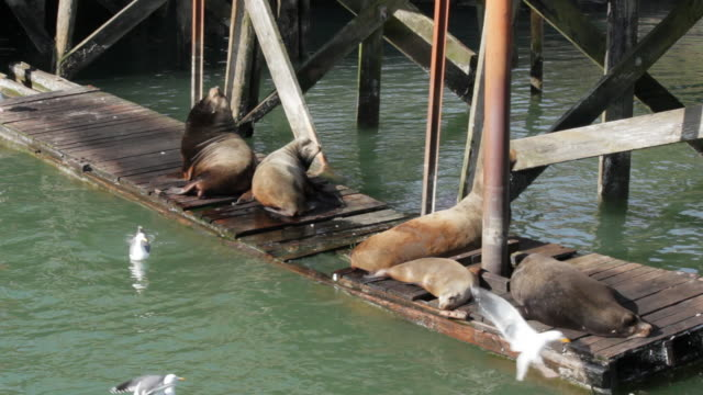 Seals resting on dock w/ seagulls