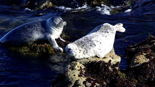 seals resting on rocks - western usa stock videos & royalty-free footage