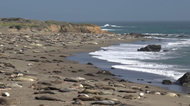 seals resting on the beach at san simeon - elephant seal stock videos & royalty-free footage
