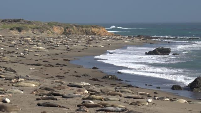 dichtungen, die ruhe am strand in san simeon - seeelefant stock-videos und b-roll-filmmaterial