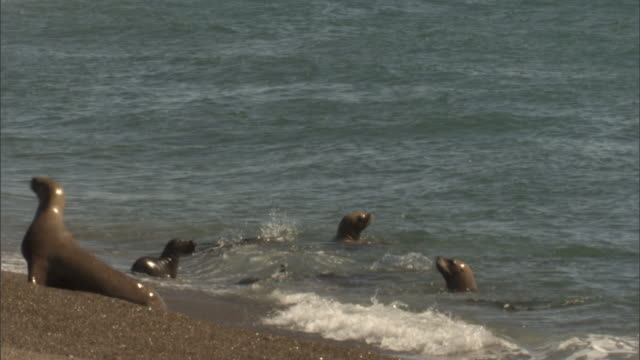 seals scurry onto a beach escaping an orca attack. - provinz chubut stock-videos und b-roll-filmmaterial