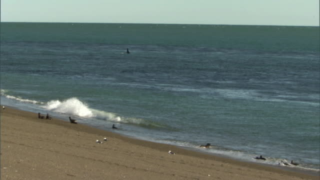 ws pan seals stand, play, and swim in foamy surf on beach, orca in water / puerto madryn, chubut, argentina - argentina stock videos & royalty-free footage