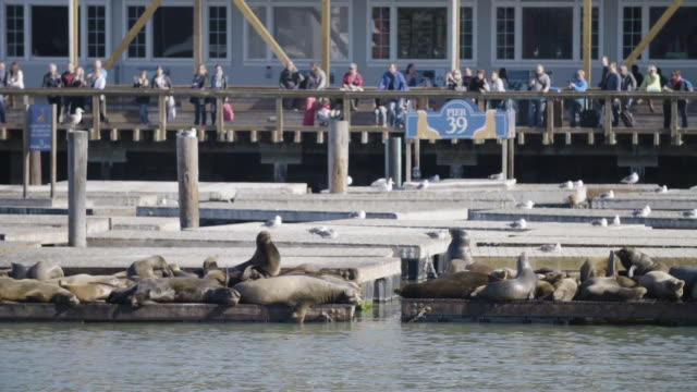 seals sunbathe on pier 39 docks in san francisco - pier 39 san francisco stock videos & royalty-free footage