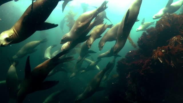seals swim around kelp forest - aquatic organism stock videos & royalty-free footage