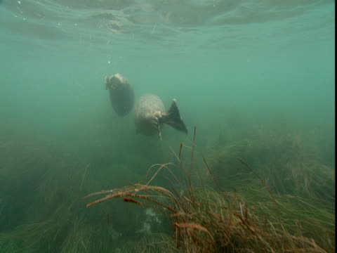 seals swim in shallow water. - western usa stock videos & royalty-free footage