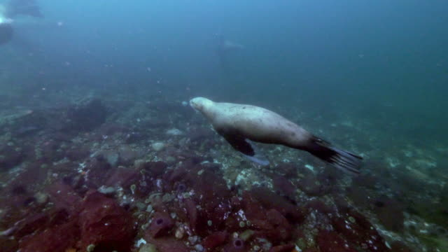 seals swim over rocky bottom, crisscross each other, vancouver island, canada - altri temi video stock e b–roll