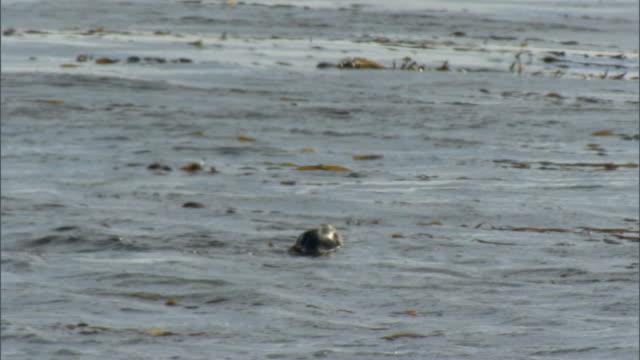 ms pan seals swimming among kelp in sea / puerto madryn, chubut, argentina  - アザラシ点の映像素材/bロール