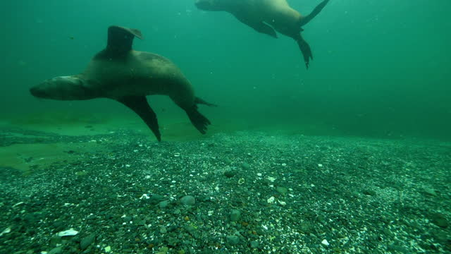 seals swimming in turquoise ocean - british columbia, canada - grey seal stock videos & royalty-free footage
