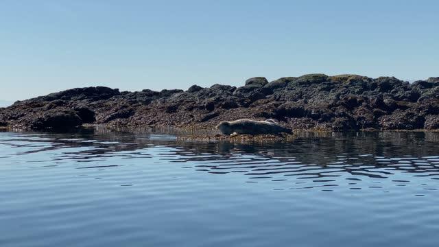 seals - pacific ocean stock videos & royalty-free footage