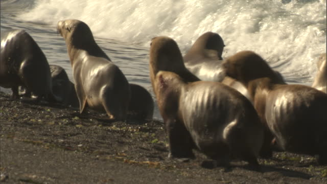 seals waddle along a shoreline. - provinz chubut stock-videos und b-roll-filmmaterial