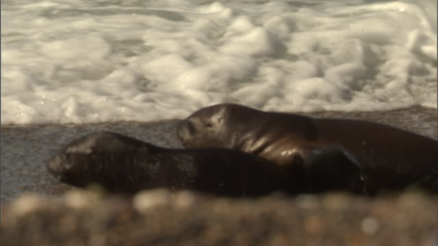 seals waddle along the shore of an ocean. - provinz chubut stock-videos und b-roll-filmmaterial