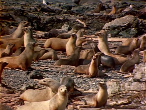 vidéos et rushes de seals waddle on a rocky seashore. - mammifère aquatique