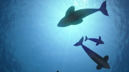 Seamless looping animation of killer whales in backlight