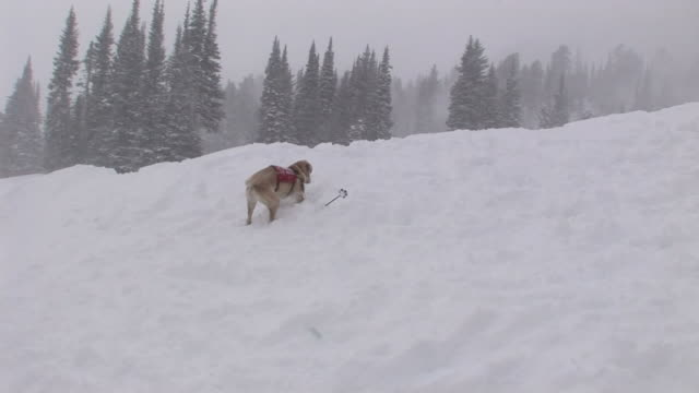 a search-and-rescue dog digs in the snow near a ski pole as it snows. - canine stock videos & royalty-free footage