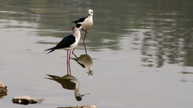 searching insects in lake water (black necked stilt), south asia - water bird stock videos & royalty-free footage