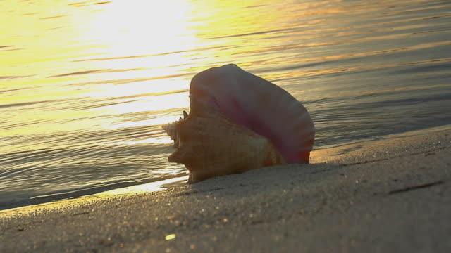 ms, zi, seashell on beach at sunset, florida, usa - seashell stock videos & royalty-free footage