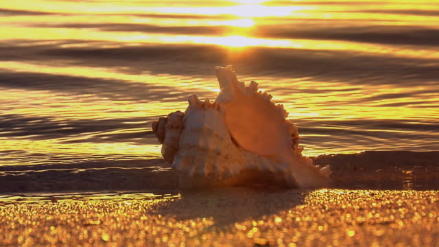 ms, zo, seashell on beach at sunset, florida, usa - animal shell stock videos & royalty-free footage