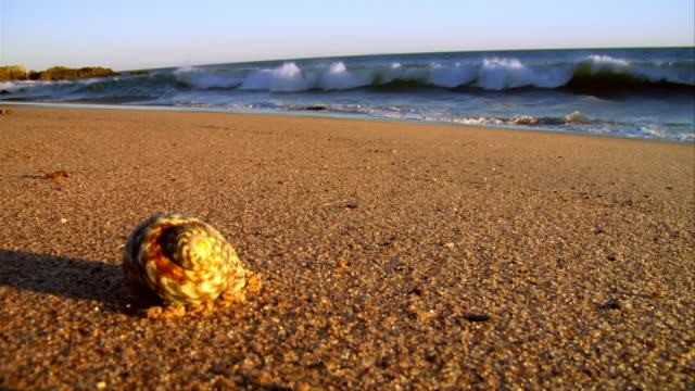 stockvideo's en b-roll-footage met cu, seashell on beach, leo carrillo state park, california, usa - schild lichaamsdeel van dieren