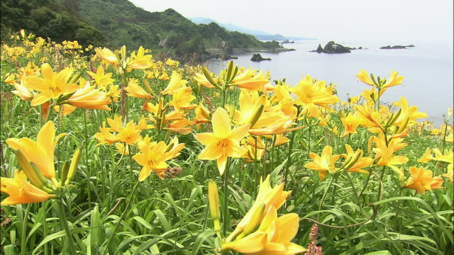 seaside field of tobishimakanzo field of flowers/tobishimakanzo/daffodils - daffodil stock videos & royalty-free footage