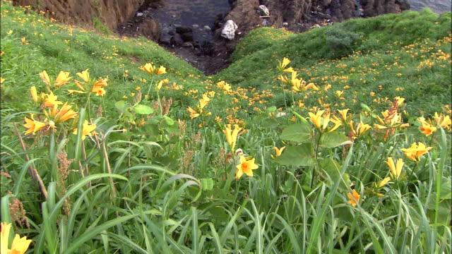 seaside field of Tobishimakanzo Field of Flowers/Tobishimakanzo/Daffodils