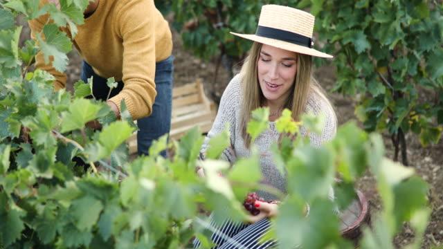season of grape harvesting is season of love - red grape stock videos & royalty-free footage