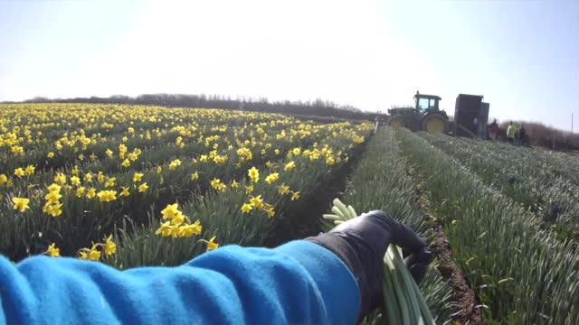seasonal worker picking daffodils in field in cornwall - harvesting stock videos & royalty-free footage