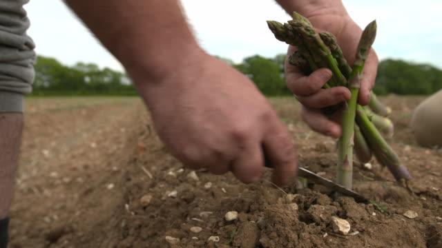 seasonal workers harvest asparagus spears in field, uk - 収穫する点の映像素材/bロール