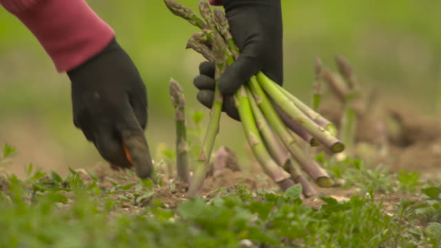seasonal workers harvest asparagus spears in field, uk - raw food stock videos & royalty-free footage