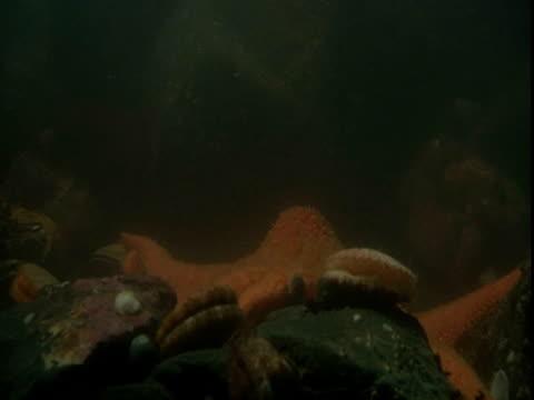 A seastar scares off a scallop.