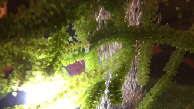 seaweed , caulerpa lentillifera - seaweed stock videos & royalty-free footage