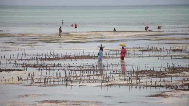 seaweed farmed on tanzanian archipelago is one of the zanzibars key exports for food cosmetics and medicines in asia europe and north america but now... - zanzibar archipelago stock videos & royalty-free footage