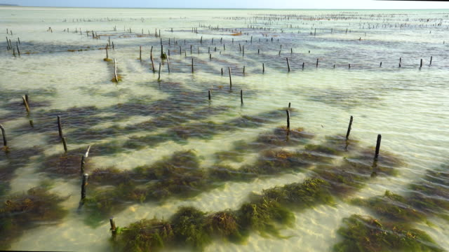 seaweed farming - alga marina video stock e b–roll