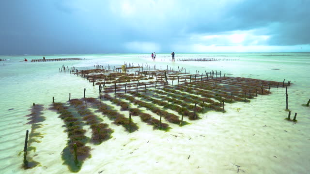 vídeos y material grabado en eventos de stock de seaweed farming - alga marina