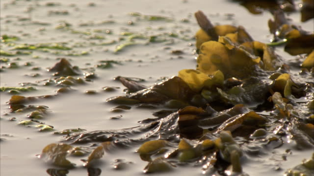 seaweed floats in calm water. available in hd. - seaweed stock videos & royalty-free footage