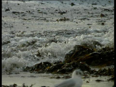 seaweed floats in dirty grey sea as waves lap gently bigbury bay devon - seaweed stock videos & royalty-free footage